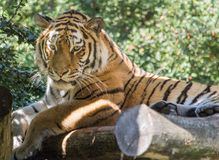 Tiger, Wildlife, Mammal, Terrestrial Animal Stock Photos