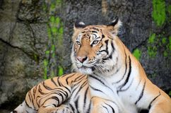 Tiger, Wildlife, Mammal, Terrestrial Animal Royalty Free Stock Images