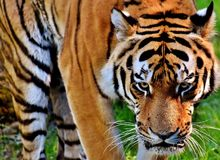 Tiger, Wildlife, Mammal, Terrestrial Animal Stock Photo