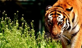 Tiger, Wildlife, Mammal, Terrestrial Animal royalty free stock image