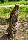 Tiger, Wildlife, Mammal, Terrestrial Animal stock photography