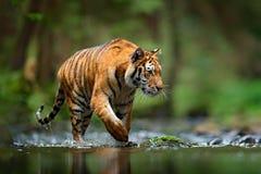 Tiger wildlife scene, wild cat, nature habitat. Amur tiger walking in river water. Danger animal, tajga, Russia. Animal in green f Stock Photos