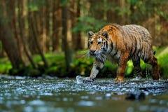 Tiger wildlife scene, wild cat, nature habitat. Amur tiger walking in river water. Danger animal, tajga, Russia. Animal in green f Royalty Free Stock Photo
