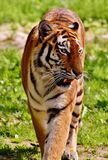 Tiger, Wildlife, Terrestrial Animal, Mammal stock photos