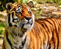 Tiger, Wildlife, Terrestrial Animal, Mammal royalty free stock photos