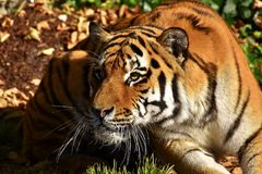 Tiger, Wildlife, Terrestrial Animal, Mammal