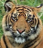 Tiger, Wildlife, Terrestrial Animal, Mammal Royalty Free Stock Photography