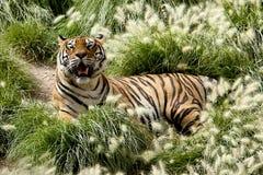 Tiger. Wildlife thailand india danger stock photos