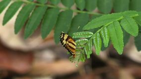 Tiger wing  butterfly Amazon rain forest. Tiger wing butterfly on a leaf in the Amazon rain forest stock video footage