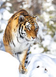 Tiger in winter Royalty Free Stock Image