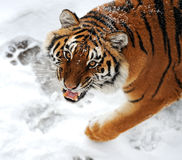 Tiger winter Stock Images