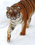 Tiger winter Stock Image