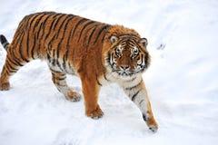 Tiger winter Stock Photo