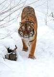 Tiger winter Royalty Free Stock Image