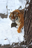 Tiger winter Stock Image