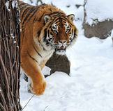 Tiger winter Royalty Free Stock Images