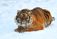 Tiger in winter Stock Images