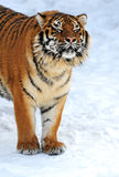 Tiger in winter Stock Photos