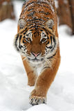 Tiger in winter Stock Image