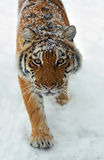 Tiger in winter Stock Photos