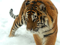 Tiger in winter Royalty Free Stock Images