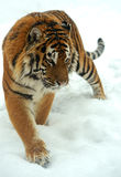 Tiger in winter Stock Photo
