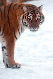 Tiger in winter Royalty Free Stock Photography