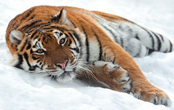 Tiger in winter. Portrait of a Siberian Tiger Stock Image