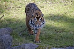 Free Tiger With A Dangerous Look At The Zoo Stock Photography - 107171642