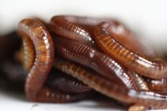 Tiger worm. Vermicompost worm project Royalty Free Stock Photos