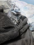 Tiger wrapped up in a blanket. Royalty Free Stock Image