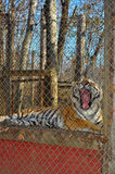 Tiger yawn Stock Photos