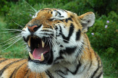 Tiger yawning royalty free stock photos