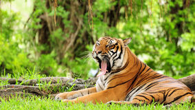 Tiger yawning. Beautiful Bengal tiger lying in the shade, under a tree, waiting for his meal in a South Florida zoo stock image