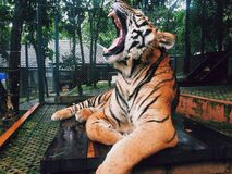 Tiger Yawning at Zoo Stock Image
