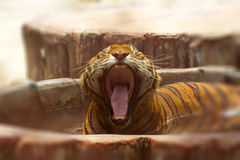 Tiger yawning in a zoo Stock Photography