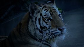 Tiger Yawns In The Evening. Tiger yawns and looks around at dusk stock video