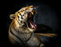 Tiger. Big male tiger yawns Royalty Free Stock Image