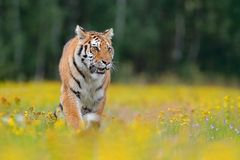 Tiger with yellow flowers. Siberian tiger in beautiful habitat. Amur tiger sitting in the grass. Flowered meadow with danger anima Royalty Free Stock Photography