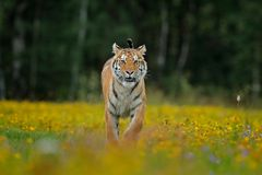 Tiger with yellow flowers. Siberian tiger in beautiful habitat. Amur tiger sitting in the grass. Flowered meadow with danger anima Stock Photography