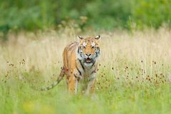 Tiger with yellow flowers. Siberian tiger in beautiful habitat. Amur tiger sitting in the grass. Flowered meadow with danger anima Royalty Free Stock Photos