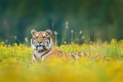 Tiger with yellow flowers. Siberian tiger in beautiful habitat. Amur tiger sitting in the grass. Flowered meadow with danger anima Stock Images