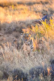 Tiger. A young tiger having a rest stock photos