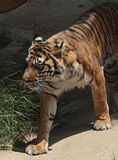 Tiger. Young male tiger walking out of shadows Royalty Free Stock Photography