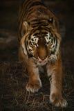 Tiger. Young sumatran tiger is walking Royalty Free Stock Image
