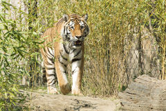 Tiger. Young tiger watchful waiting and walking Stock Photo