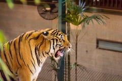 tiger ziewanie Fotografia Stock