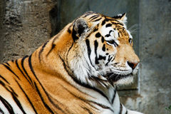Tiger at the zoo. A tiger laying down at the Leipzig Zoo in Germany Royalty Free Stock Photos