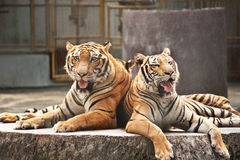 Tiger in the zoo. With telephoto lens Stock Photography