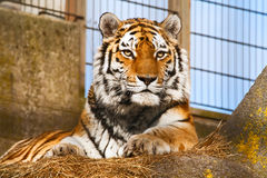 Tiger in a zoo. The tiger lies in a zoo open-air cage Royalty Free Stock Photo